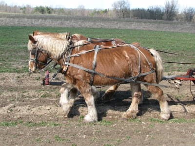 Horses pulling the cultivator