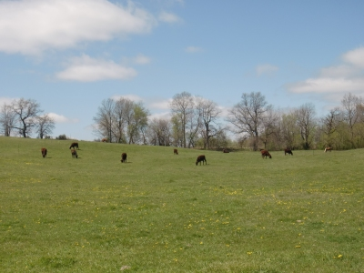 All the cattle and in back, two horses