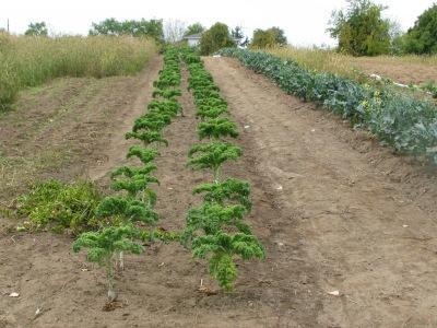 Kale row