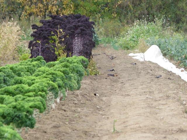 Semi-dwarf Scotch Kale Westlandse