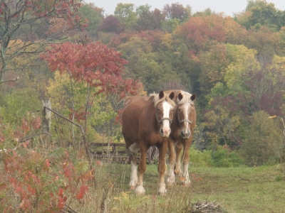 Resting horses and fall colours