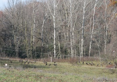 Wild turkeys in the corner