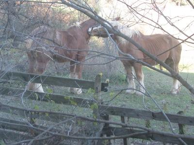 Horses preening