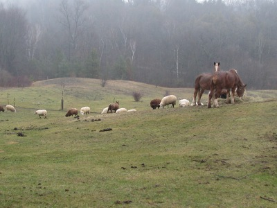 Horses tolerating sheep at their dinner plate