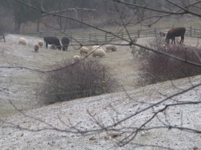 Cows and sheep just before that first real snow, before the sheep went to winter pasture