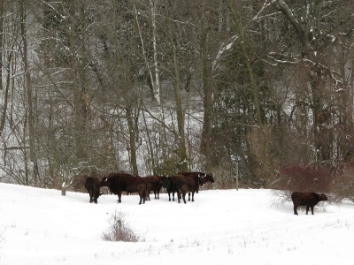 Cows out in the first snow