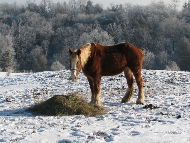Marie horse a little earlier than the first photo with the two horses at a closer pile of breakfast hay, same day.