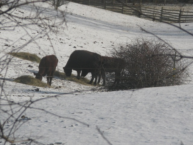 Three of the eight cattle munching on breakfast.