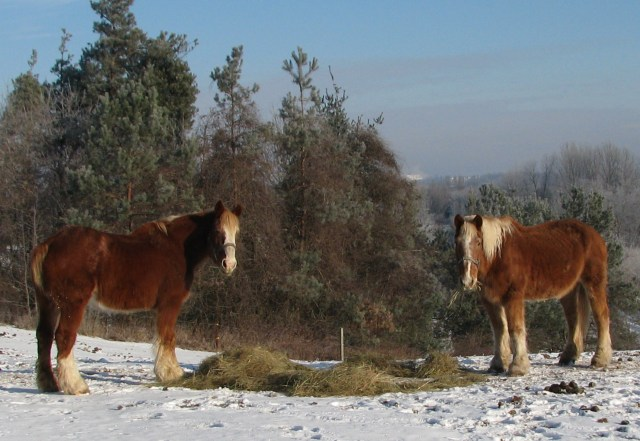 The horses at breakfast and they really appreciate warm sun.