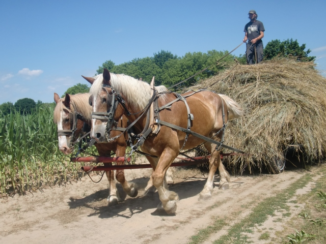 The hay on the wagon, only a 1/2 load here, starting the mile long trip to our barn.