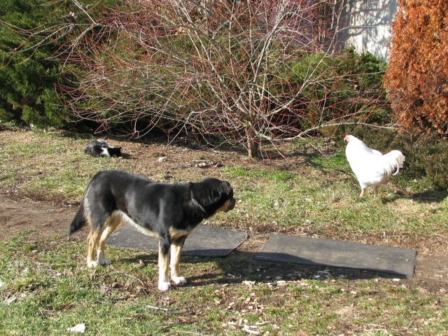 Warm sunshine, a dog, a cat and a chicken, hard to believe it is the middle of January.