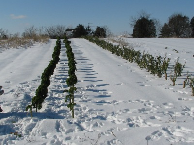 The kale rows looking quite lean now, still good leaves but the rabbits know it too.