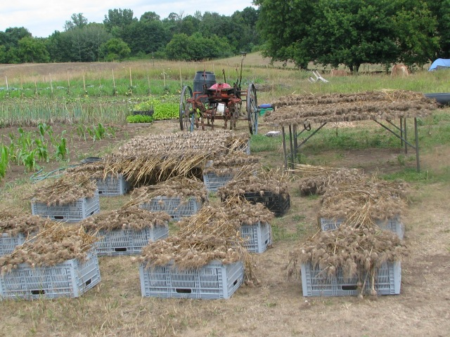 The garlic harvest drying on racks.