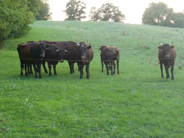 Our Shorthorn and Canadienne cattle on lush spring pasture.