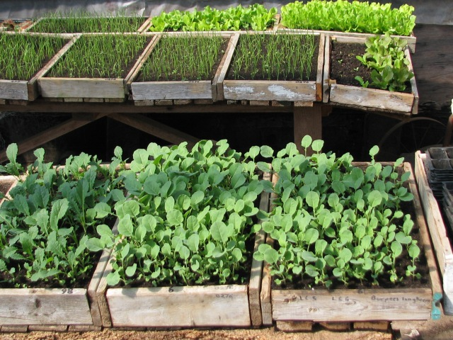 Vegetables started in trays, some ready to be transplanted out to the garden.