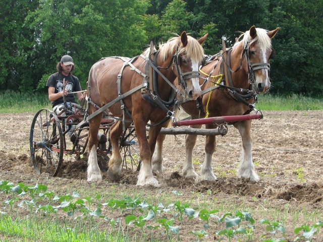 Preparing for planting using the single row cultivator.