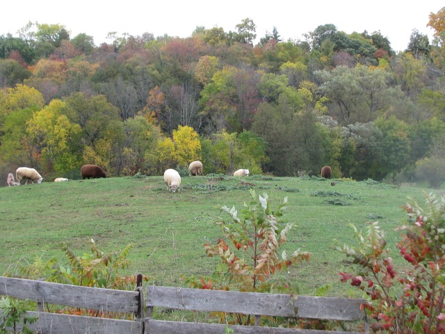 Our Border Cheviot sheep on fall pasture