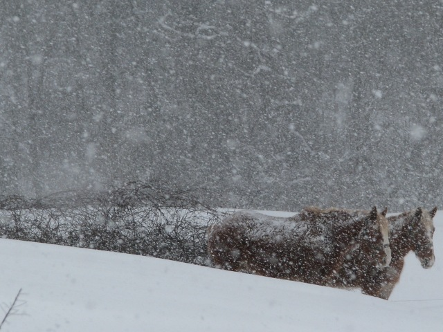The big snow on Friday, the horses didn't move from this spot all day. A bit of shelter here and plenty of feed hay they didn't even bother to come up for a drink.