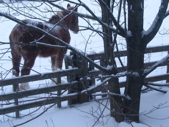 Marie horse and the maple tree early in the morning.