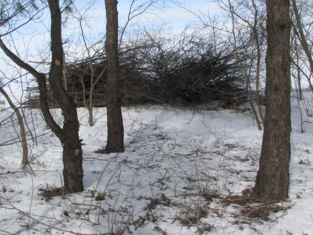 A pile of freshly cut branches, mostly Buckthorn, for next seasons burning