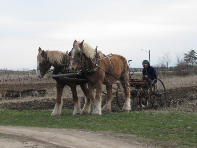 17/4/13  Backing the cultivator slightly to clear the tool bar. Wimpy the gelding is close to us. Marie the mare on his right.