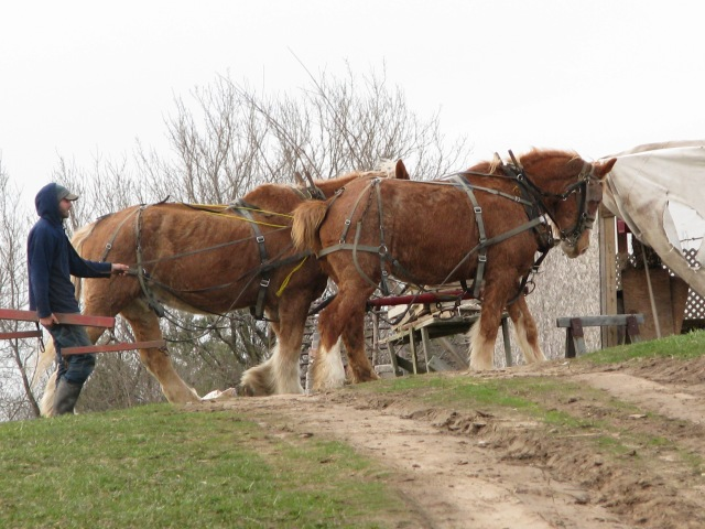 17/4/13  Aerron ground driving the horses from cultivator to wagon and carrying the double tree. Marie off to a head start thinking they are going back to the barn.