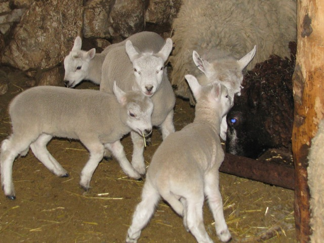 These lambs are doing what lambs and small children excell at: having fun.