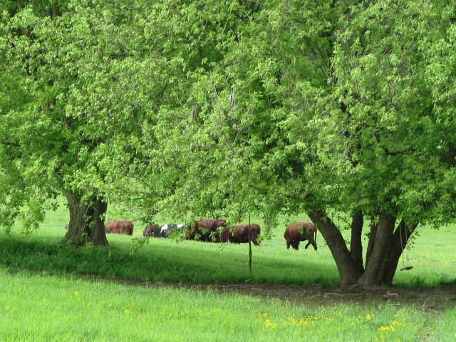 The cows happily munching away on the real stuff, not the dried version. The Manitoba Maples are nearly in full leaf.