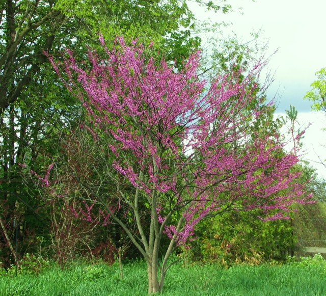 This is our little Redbud tree at it's best last week but looking good still this week.