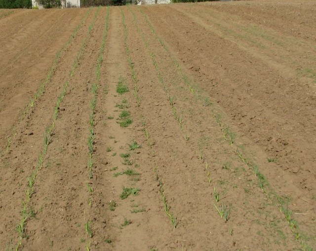 Three beds of onion sets, 3 rows each bed. From left to right, yellows, reds and not yet poking out of the ground are the Spanish sets.