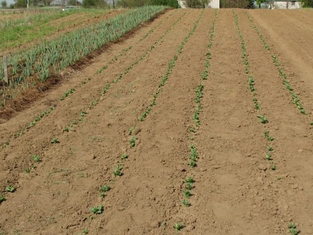 The six rows of broad beans are coming quickly and the garlic at the left is growing fast too.