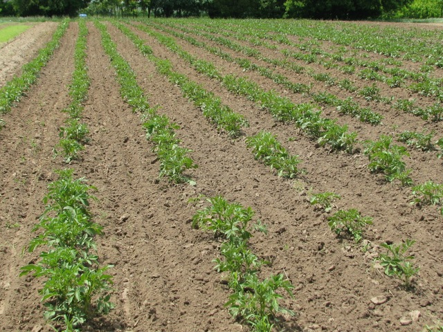 The potatoes. The first 4 rows are Yukon Gold and are somewhat gappy.
