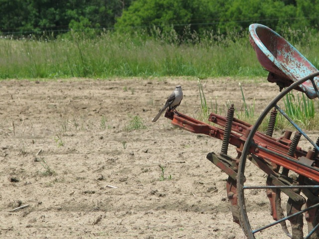 A Mockingbird sitting on the cultivator. He went from there to the ground and back several times, presumably and hopefully getting those white grubs.