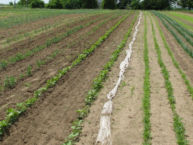 The fat white line is rolled up row cover and to it's left are the Beans with three rows of Arugula and other greens to the right.