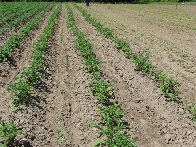 The north side rows in the potatoes. Notice the excellent job that Aerron and the team did hilling.