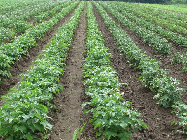 Three rows of Kennebec Potatoes, Chieftains to right.