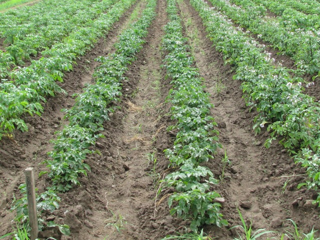 The two rows of Norland potatoes.