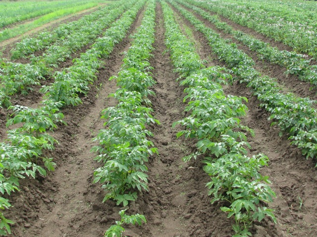 Five rows of the ever popular Yukon Gold potatoes with the Norlands to the right.
