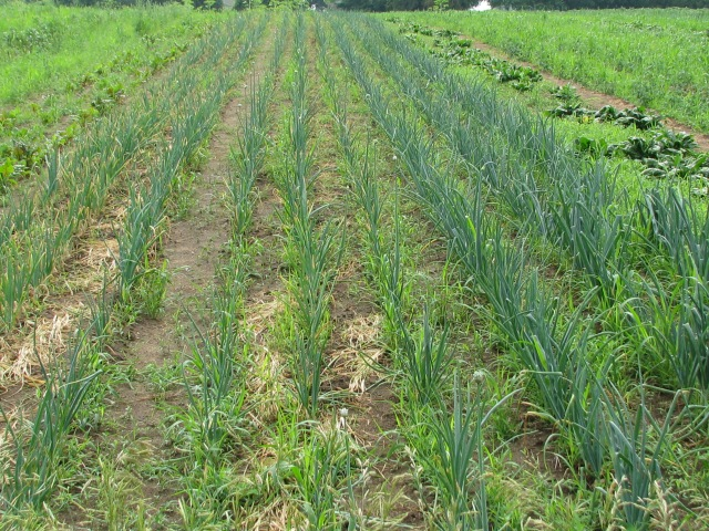The onions looking weedy and they have been weeded quite thoroughly twice so far.