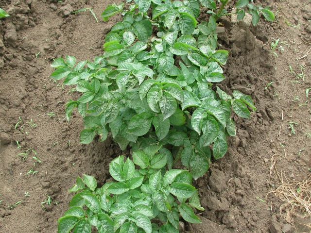 Typical Norland potato plant.