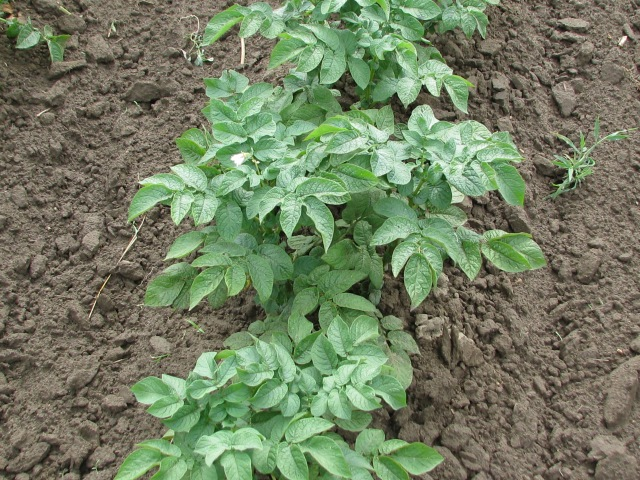 Typical Chieftain potato plant.