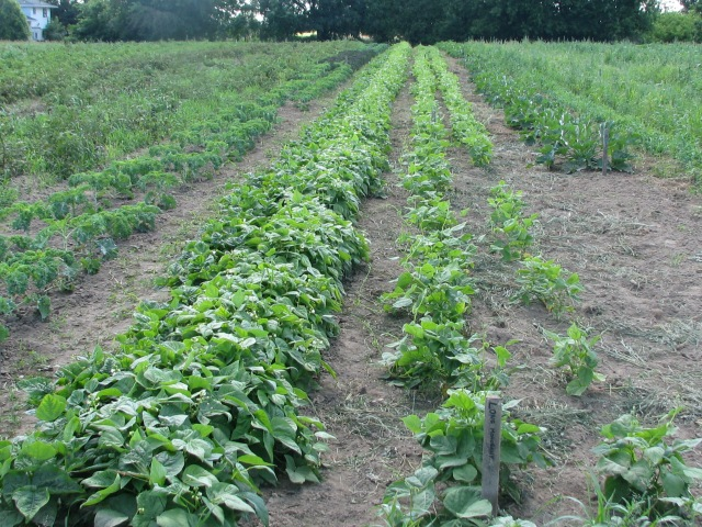 From the left; Potatoes, 2 rows of kale, yellow and green beans, 2 rows of dry beans, summer squash, then off to the right are weedy cucumbers and snap peas.