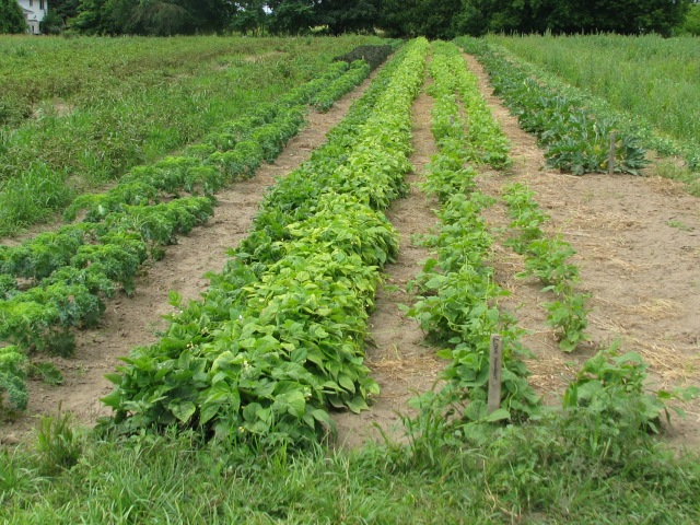 From the left;  Rows of 'taters, two rows of kale, two rows of beans (one green, one yellow), two rows of dry beans, summer squash row.