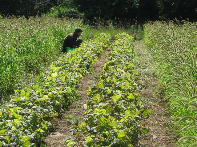 Aerron picking the purple beans. The plants are now starting to look a little old having been picked for 3 weeks now.