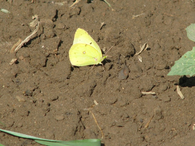 A Sulpher butterfly 'puddling' on the mud in the garden, it looked cute, somewhat unusual, so I took a picture.