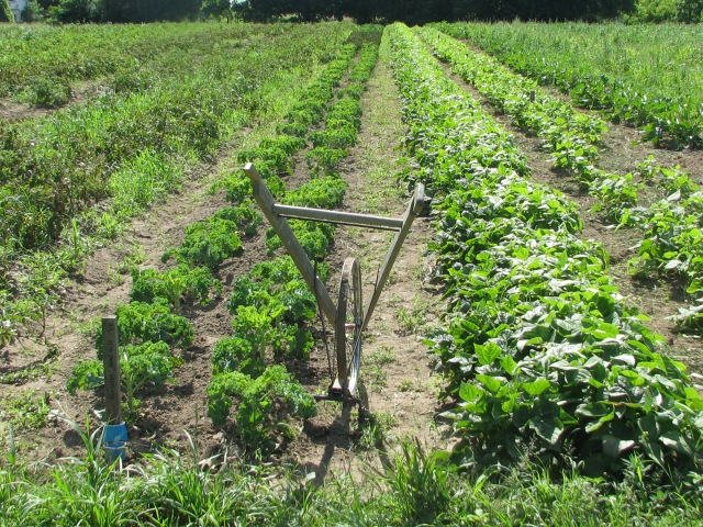 The two rows of kale with the wheeled stirrup hoe at the right of them. This is a valuable, very useful tool, simple but effective and fast.