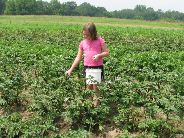 Olivia, our granddaughter happily picking potatoe beetle larva from the potato plants