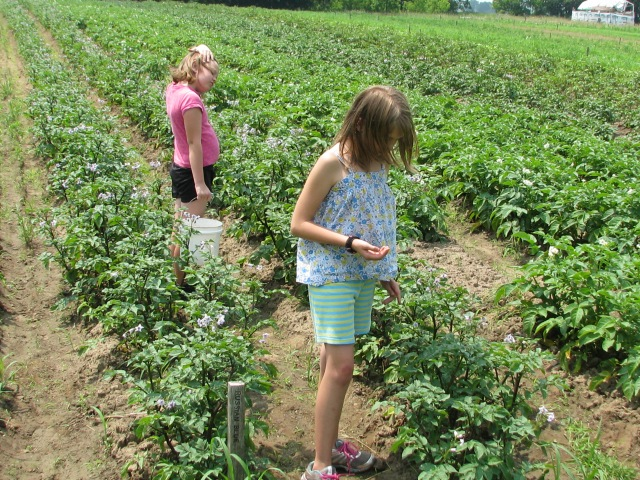 Olivia and sister Emma searching for more potato beetles.
