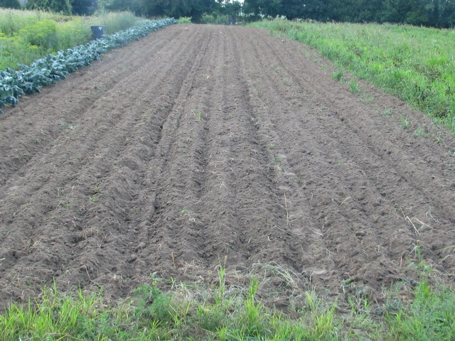 This was were the first six rows of potatoes had been and it is now worked up again and ready to plant in. garlic is one of the things to be planted here.