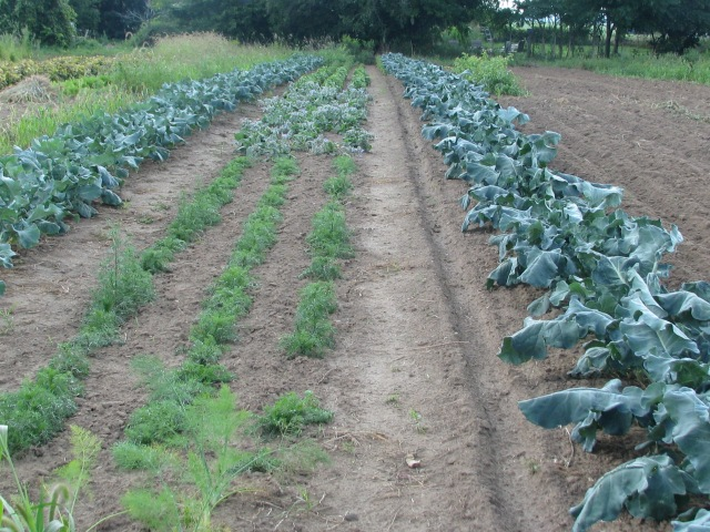 T'other end of that same row containing coriander and dill. Broccoli both sides of camomile, borage, parsley and basils